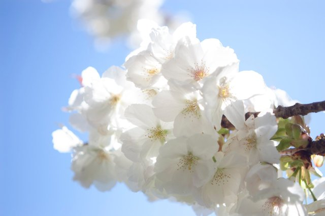 blousy white cherry blossom blooms photographed with sunlight pouring through the paper thin petals
