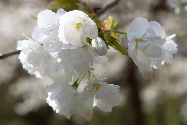 closeup of white cherry blossoms