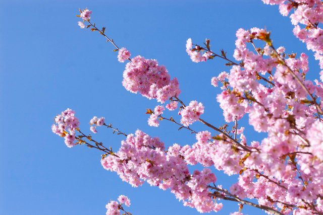 a branch of cherry blossoms reaching out into the beautiful big blue sky