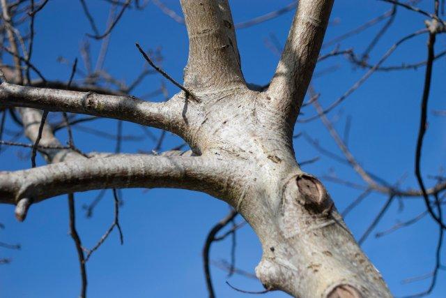 walnut tree with its silvery barky trunk