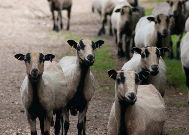 A posse of several sheep peer questioningly out at us; their pretty black ears poke to the sides and their little noses are raised, interestedly, as if we, the viewer, may be possessed of edibles.