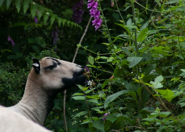 a sheep munching on some brambles