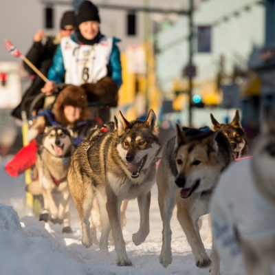 Dog team, Iditarod 2014 start