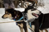 Dogs from the team of Karin Hendrickson, moments after arriving in Takotna.