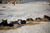 Robert Sorlie sled dog, Kaltag