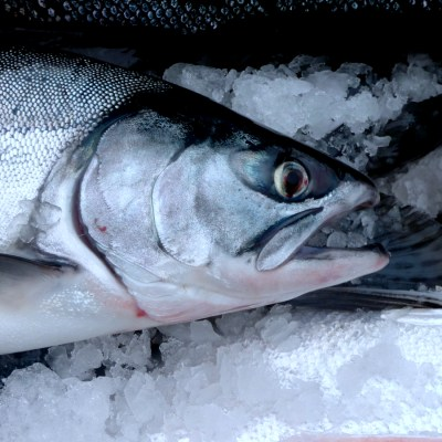 Close-up view of a recently-caught Alaska silver salmon.