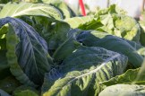 Frosted Cabbage at Pilgrim Produce in 2017.