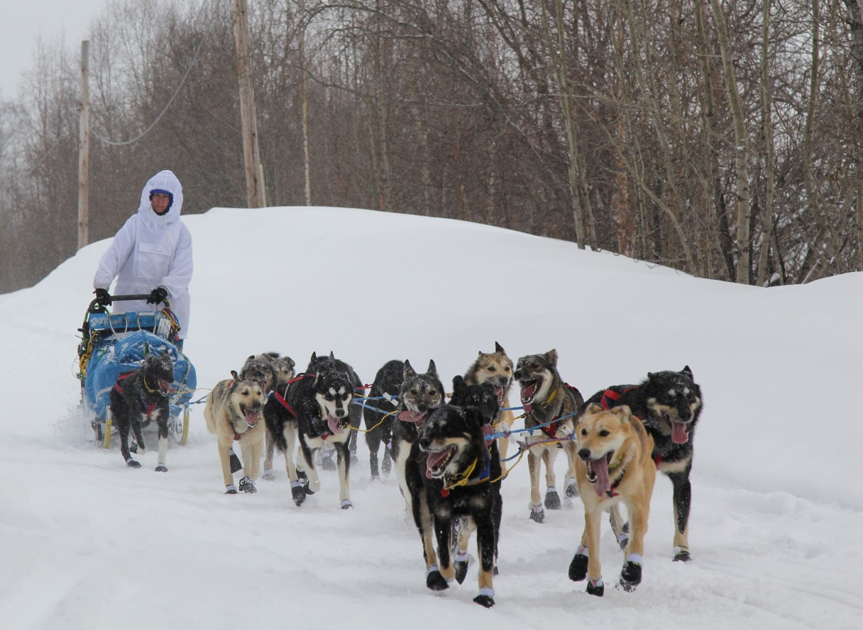 Musher in white parka mushes sled dog team down snowy trail
