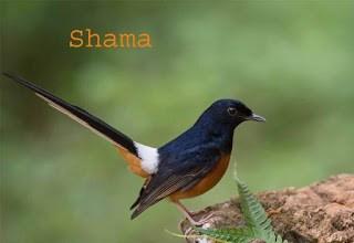 shama in hindi