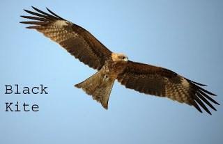 kite bird in hindi