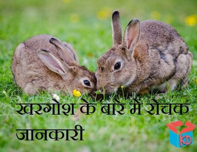information about rabbit in hindi