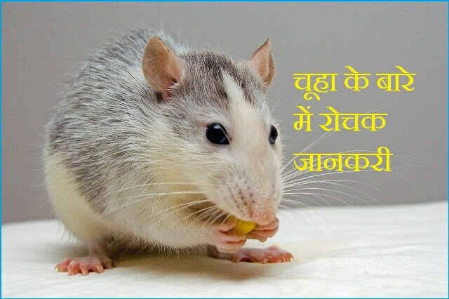 information about rat in hindi