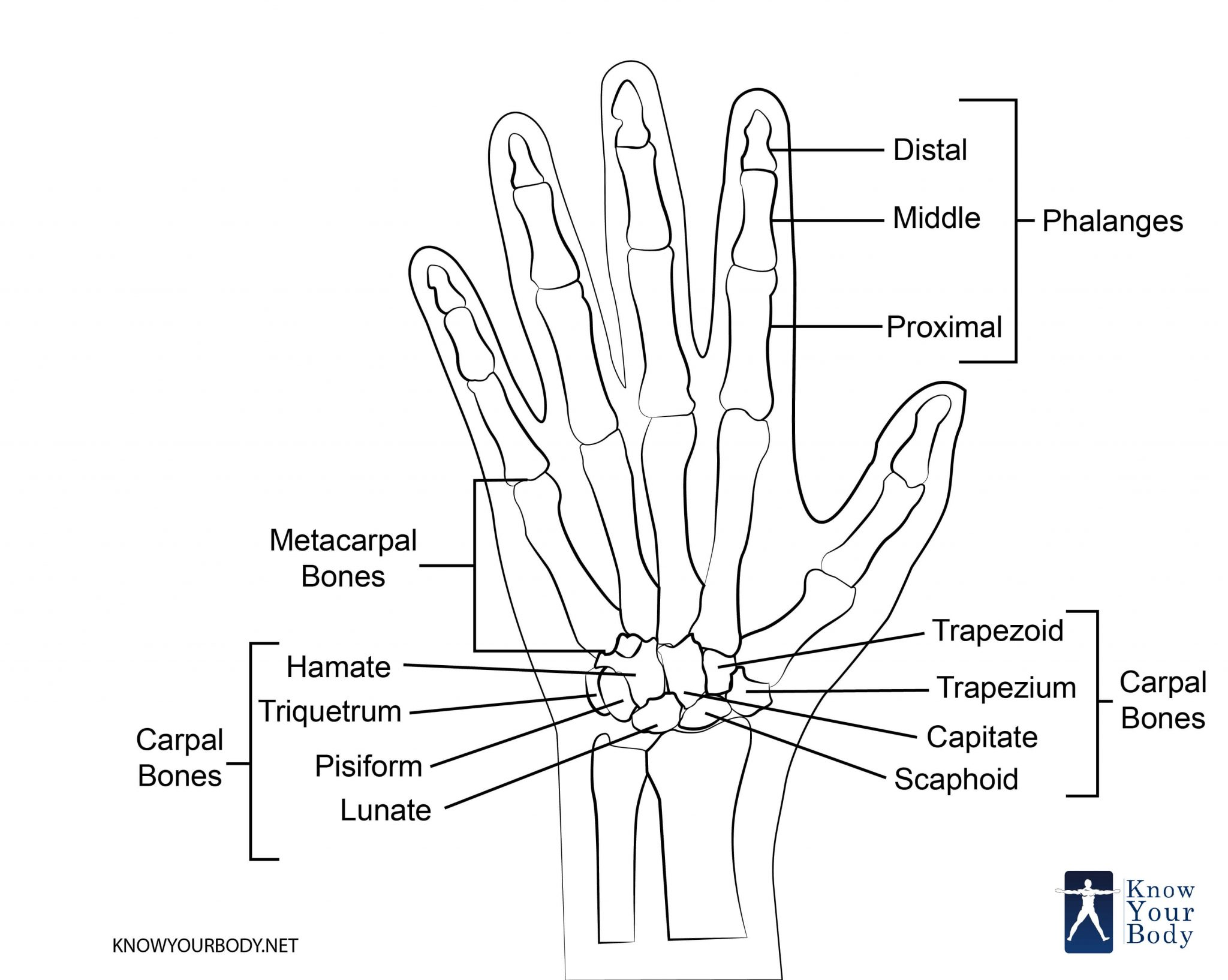 Carpal Bones Of The Hand Ligaments Tendons And Nerves
