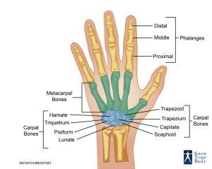 Hand Bones  Anatomy, Structure and Diagram