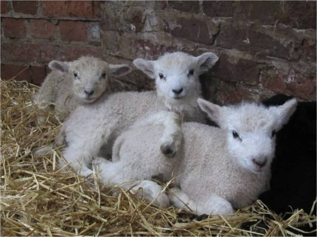 tatton lamb 7