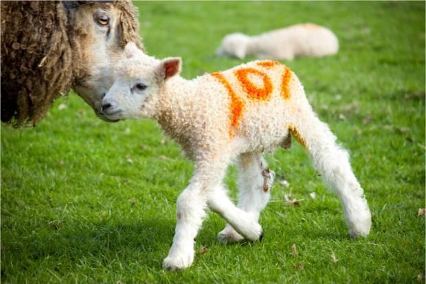 tatton lamb 8