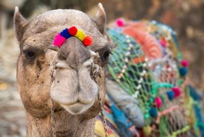 Camel Festival Pushkar, Rajasthan, India