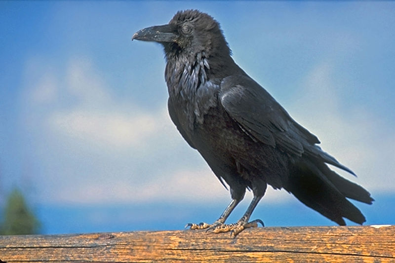 800px-Common_Raven_at_Byrce_National_Park