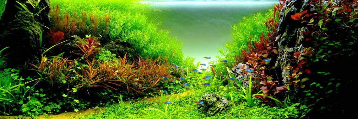 Aquarium Plant Bulbs Sale