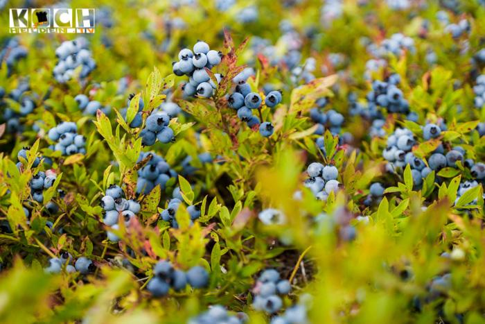 wilde-Blaubeeren- www.kochhelden.tv