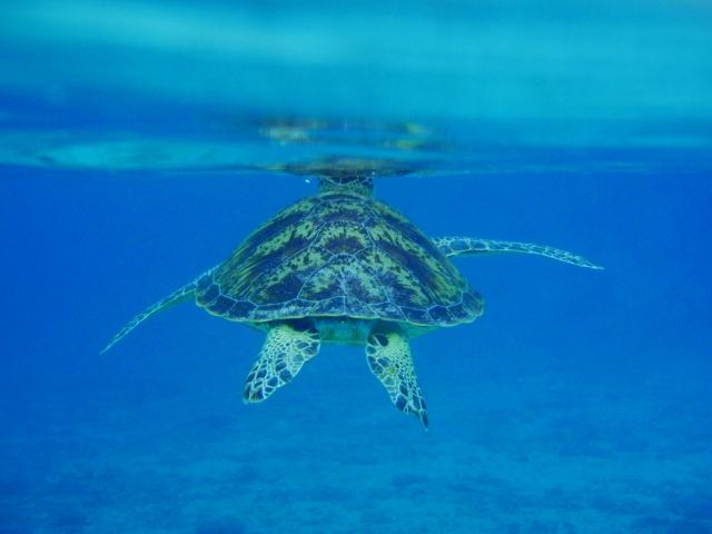 ウミガメ・海中
