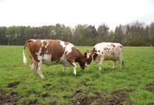 koeien-naarbuiten1204