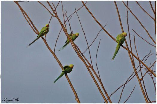 Für manche Menschen schöne Vögel, für andere schreckliche Plagegeister: Halsbandsittiche in Köln, Bild: Ingrid Beckers