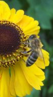 Biene-auf-Sonnenhut-HOCH2