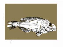 Parrot Fish Vieja