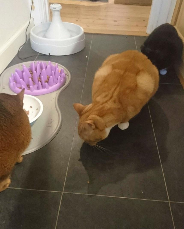 Når din kat kaster op - kø til foderskålen