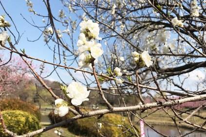 古河公方公園の桃の花(寒白桃)