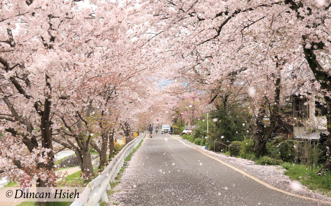 Photo by Duncan Hsieh: Falling cherry blossoms