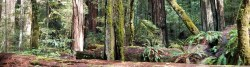 Picture of forest showing redwood trees