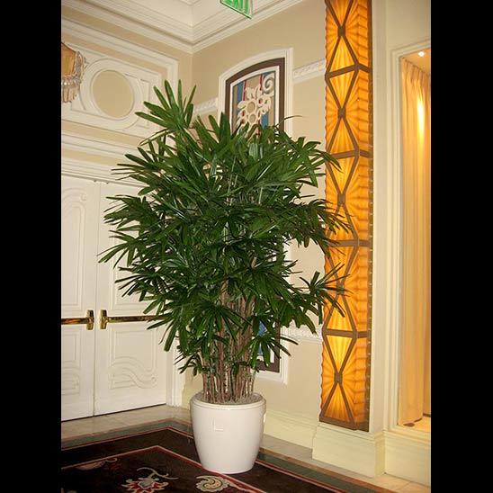 Rhapis Palm grown by Kohala Nursery on location in Asia Hotel
