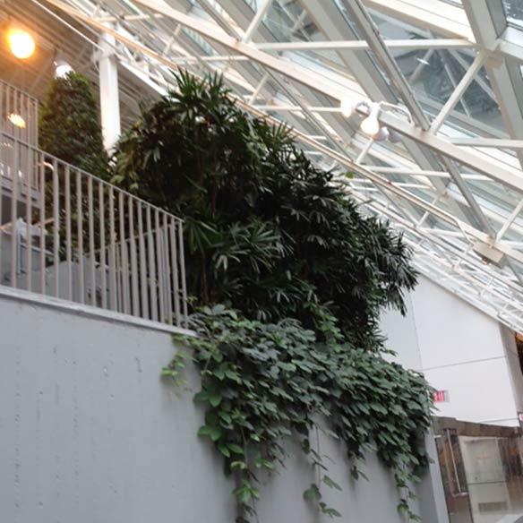 Rhapis Palms used indoors in Canada grown by Kohala Nursery