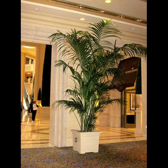 Graceful Kentia Palm  produced Kohala Nursery installed at a Las Vegas Resort Hotel.