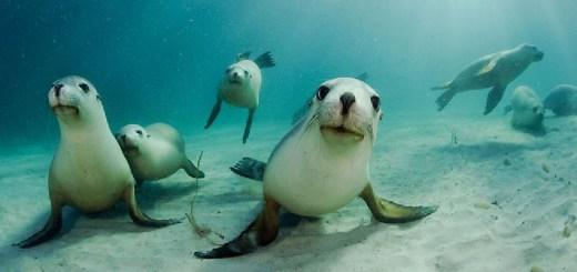 cancellare la memoria del leone marino con la diatomea, un alga marina-leone-marino-cancellare-la-memoria-cervello-diatomea