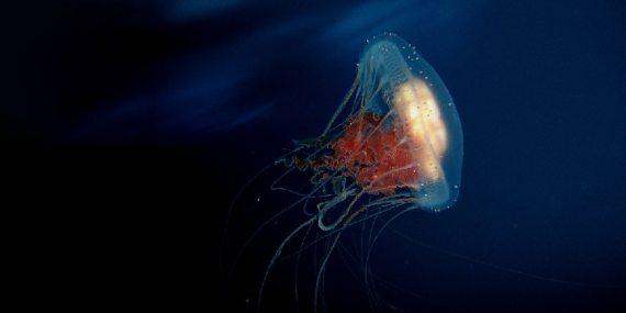 Sito di informazione non periodica koimano for Cucinare meduse