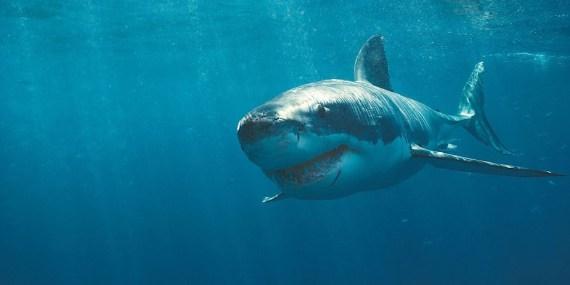 mostro marino ingoia squalo bianco