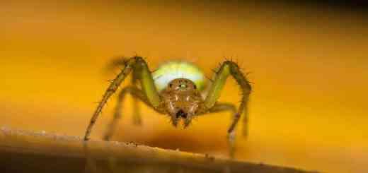 Ragno saltatore, foto di © Massimiliano-Benvenuti
