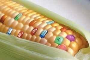 Alimenti Ogm e flora batterica pannocchia soia ogm