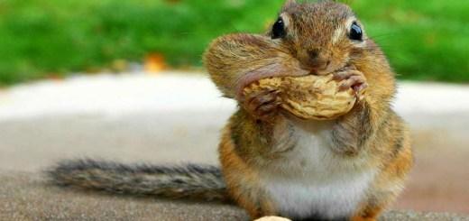 Squirrels scoiattolo vaccino contraccettivo