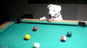Halo il cane gioca a bigliardo