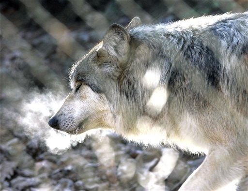 Endangered Wolves_1547365186353
