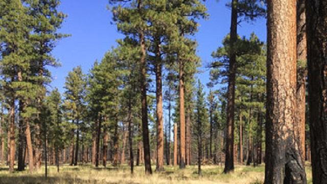 generic ponderosa pine trees sisters central oregon_1557449095808