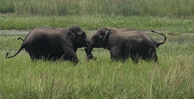 wild elephants_1557142476525.jpg.jpg