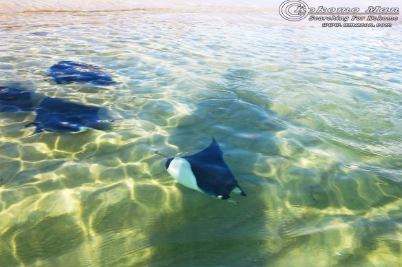 """I was in less than knee deep water and these guys """"flew"""" right by. Note my shadow cast in the water."""