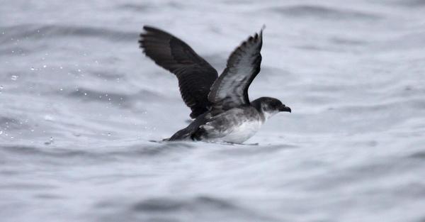 Peruvian Diving-Petrel Pelicanoides garnotii PotoYunco