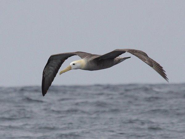Waved Albatross Phoebastria irrorata. Photo: Gunnar Engblom