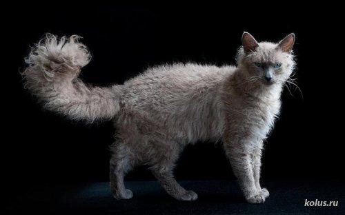 Порода кошки ла Перм